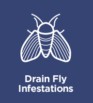 drain-fly-infestations