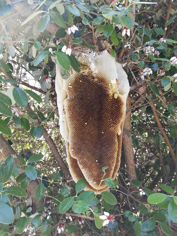 Pest Control - General Pests - Outdoor - Bee Hive removal and relocation 2of2.
