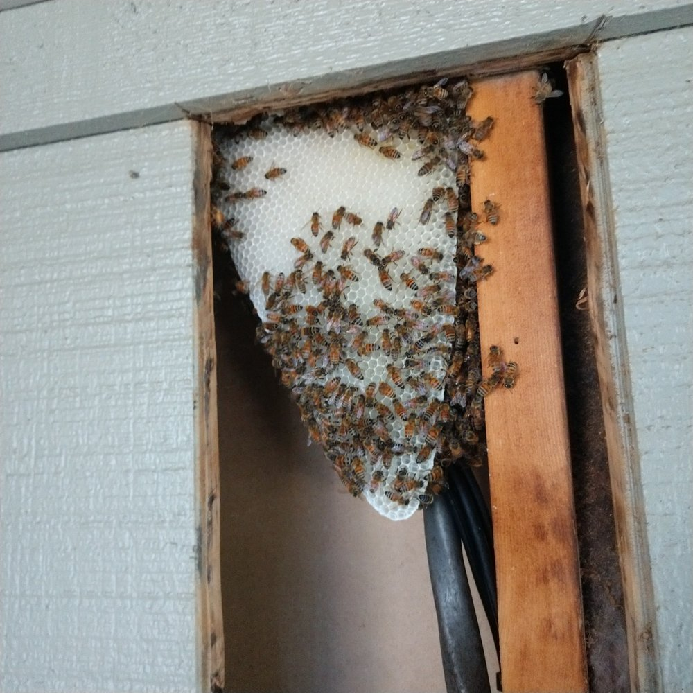 Pest Control - General Pests - Outdoor - Bee Hive removal and relocation. Bees 2 4of5.