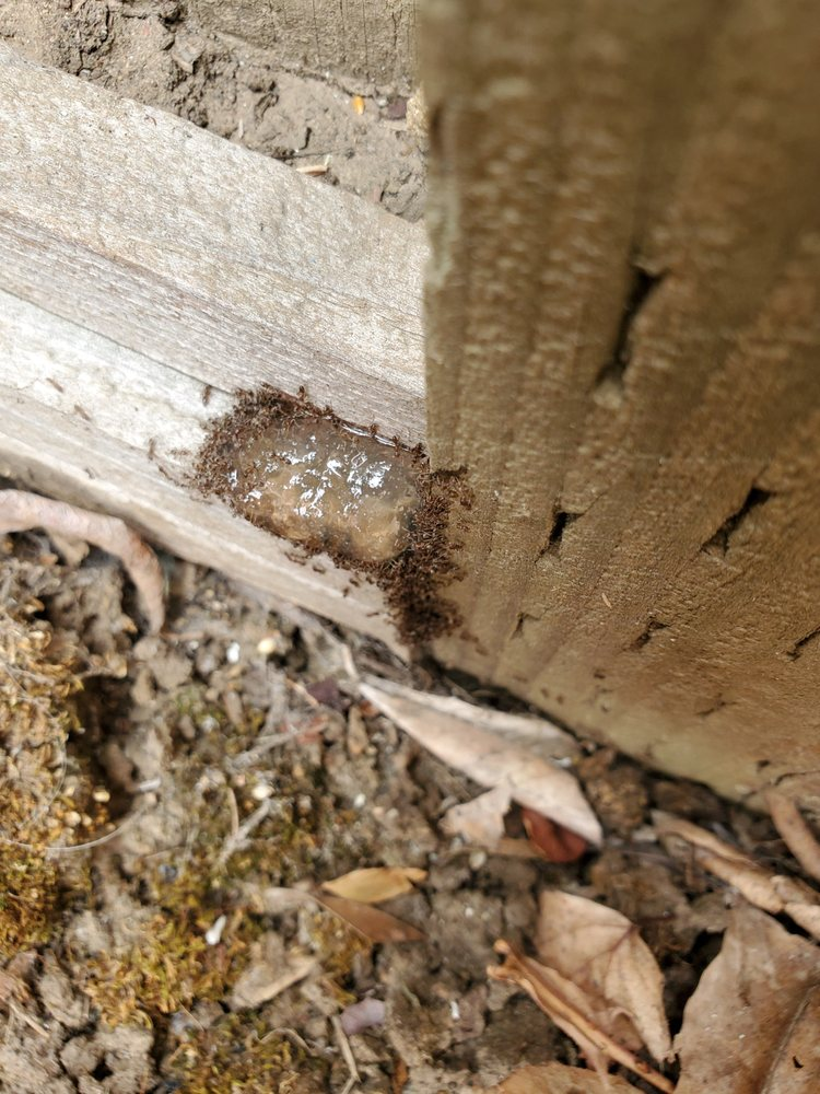 Pest Control - General Pests - Outdoor Treatments - Ants using a professional grade gel bait not purchased at a hardware store.