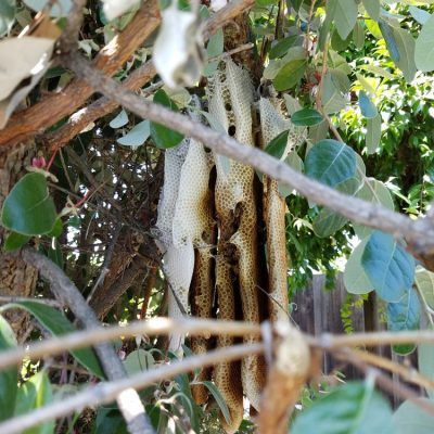 Pest Control - General Pests - Outdoor - Bee Hive removal and relocation. 1of2.