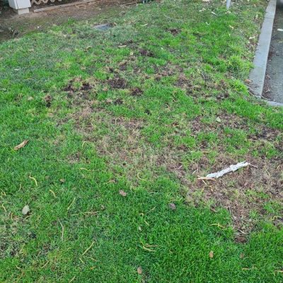 Pest Control - Live Animal Trapping - Lawn damage by Raccoons.