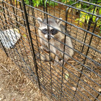Pest Control - Live Animal Trapping - Raccoons, Possums & Skunks.